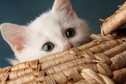 Мурлыканье кошки призвано повысить работу иммунной системы