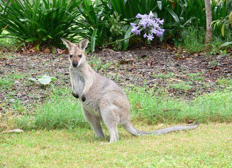 Малыша, который потерялся в парке, спас кенгуру!