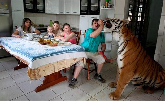 Двухлетняя жительница Бразилии живет в одной квартире с тиграми и регулярно катается на ни