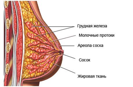 Изменения в грудных железах в период беременности