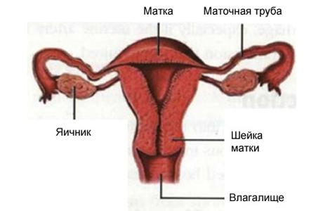 Репродуктивная система женщины - матка, яичник