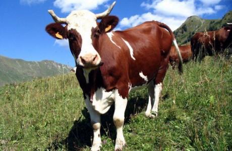 Корова спасла жизнь малыша
