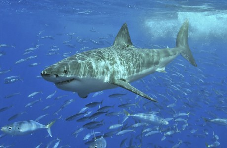 Нельзя употреблять акулу